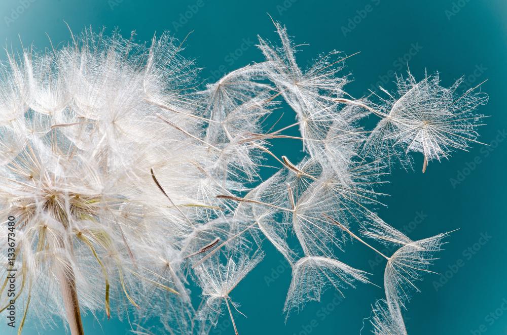 Fototapety, obrazy: Abflug / Flugschirme der Pustblume beim Start: Wir fliegen davon, um Wünsche zu erfüllen :)