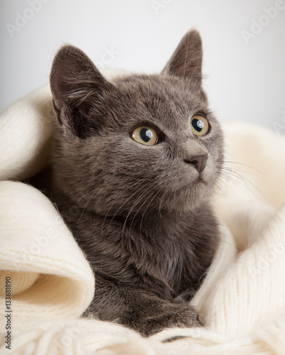 gray kitten wrapped in a blanket, smoky cat in blanket on a gray