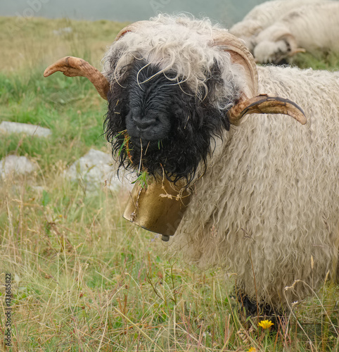 Fotografija  Close-up of Valais blackness sheep