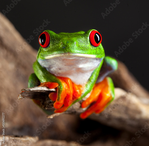 Deurstickers Kikker red eye frog