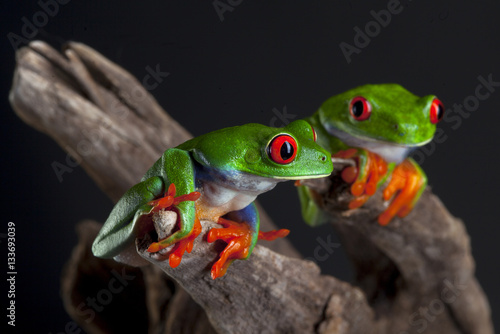 Tuinposter Kikker Two red eye frog