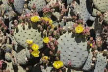 Beautiful Buding And Blooming Wild Desert Cactus Flowers.