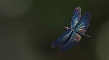 Dragonflies Of Thailand ( Rhyo...