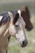 Wild Mustangs of the Great Basin desert Utah