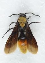 Velvet Ant Male