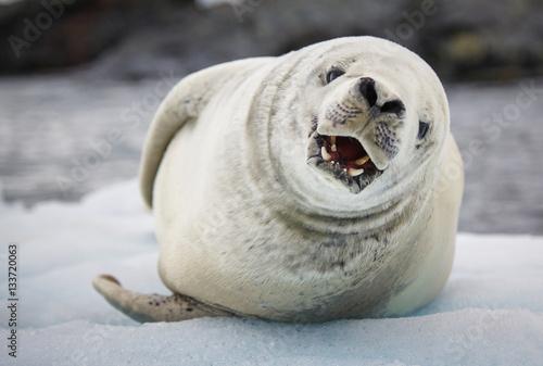 Foto op Plexiglas Antarctica Crabeater seal (Lobodon carcinophaga) barking, Antarctica