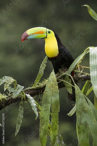 Foto op Canvas Toekan A toucan perching on a branch in Costa Rica.