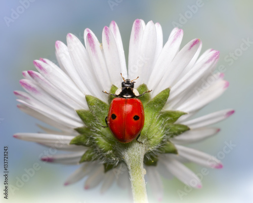 Foto op Canvas Madeliefjes A ladybird on a daisy.