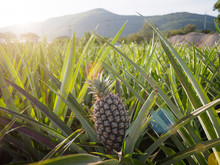Landscape Of Pineapple Farm With Mountain