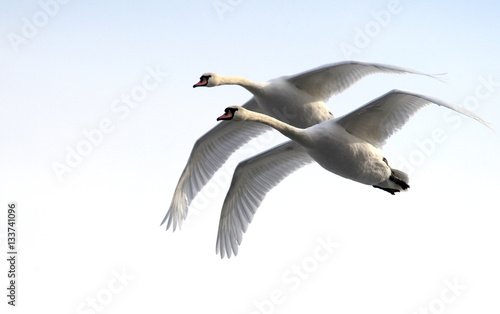 Pair of swans flying over frozen river Danube covered with snow, in Belgrade, Zemun, Serbia.