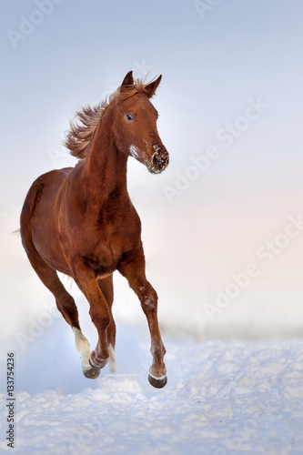Red horse run gallop in snow field