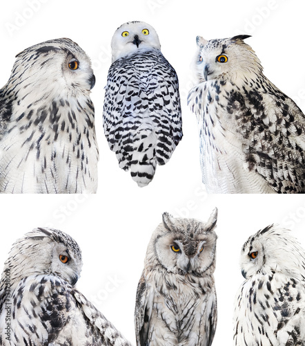 Keuken foto achterwand Uil six isolated white owls