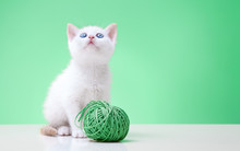 White Young Cat Puppy Plays With A Wool Ball