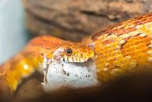 Corn Snake Eating A Little Mouse