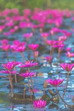 Pink Red Lotus, Vintage Filter Image