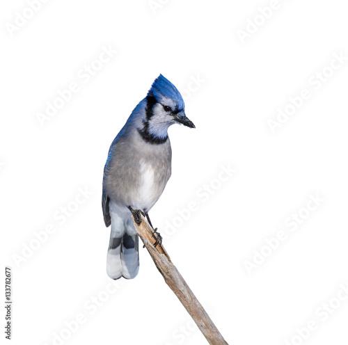 Fotografie, Obraz Blue Jay on White Background, Isolated
