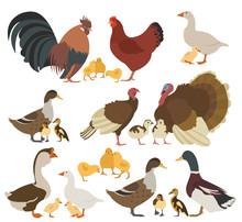 Poultry Farming. Chicken, Turk...