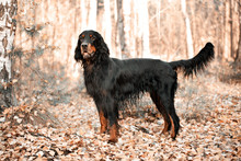 Gordon Setter Hunting Dog Standing In The Front In The Autumn Fo