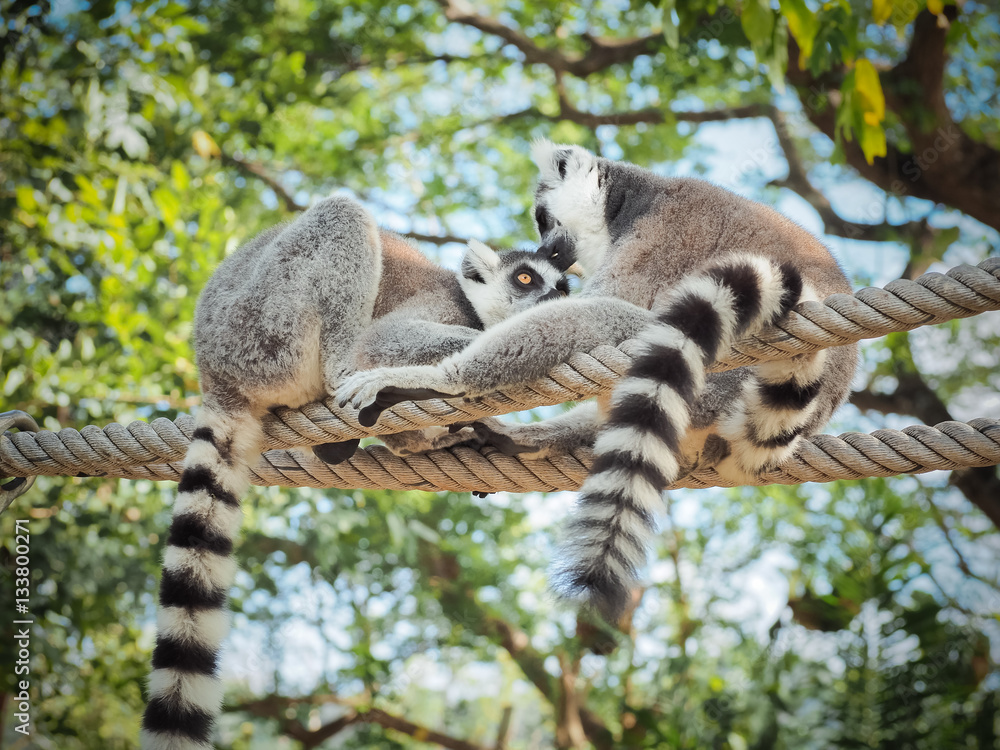 Foto  Two Ring-Tailed Lemur (Lemur catta) Outdoor Shot in the zoo