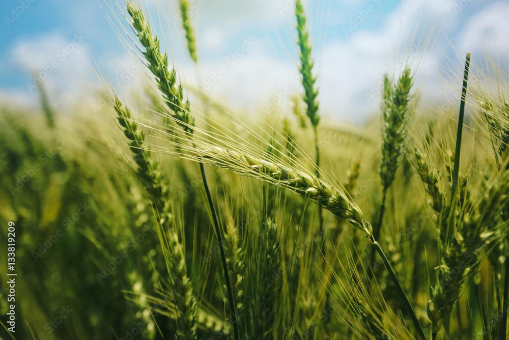 Fototapety, obrazy: Green wheat ears in field