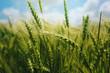 Leinwandbild Motiv Green wheat ears in field