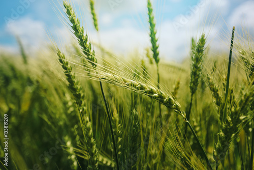 Fotoposter Cultuur Green wheat ears in field