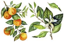 Sunny Mandarin Watercolor Hand...