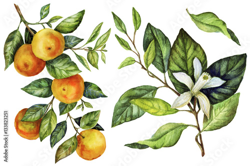 Fotografie, Tablou Sunny Mandarin watercolor hand painting botanical art