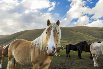 Herd of free horses in the Pian Grande (Castelluccio di Norcia), Italy