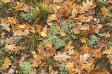 Forest Floor With Dry Oak Leaves And Reindeer Moss  (Cladonia Rangiferina). Aerial View. Texture, Background