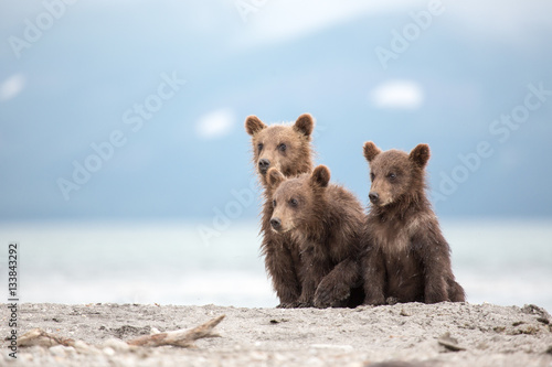 Little cubs waiting for his mother bear Poster Mural XXL