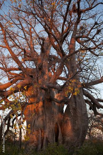 Keuken foto achterwand Baobab Baobab tree from Makgadikgadi Pans