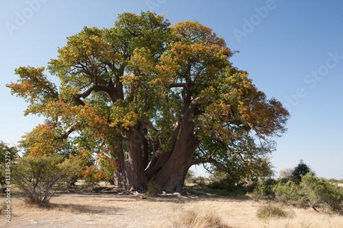 Baobab tree from Makgadikgadi Pans