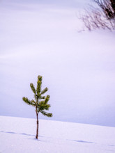 Small Pine Tree Alone In Snow