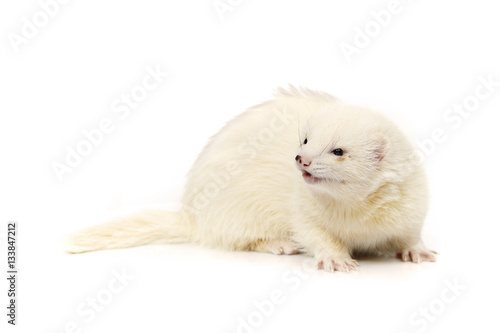 Dark eyed white ferret on white background posing for portrait in studio Canvas-taulu