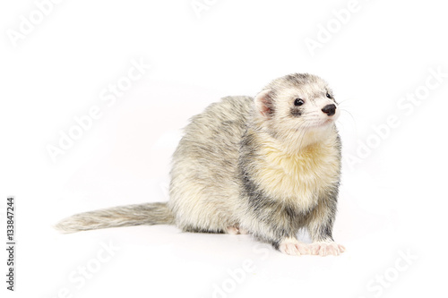 Valokuvatapetti Nice silver ferret on white background posing for portrait in studio