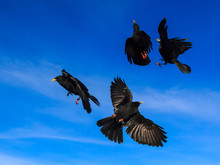 Four Alpine Choughs (Pyrrhocorax Graculus) In A Flight Against The Blue Sky