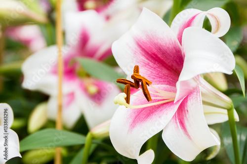 lilie-w-ogrodzie-odcienie-rozu-i-bieli