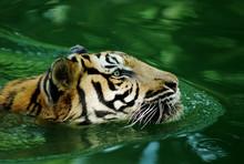 Malayan Tiger Swimming