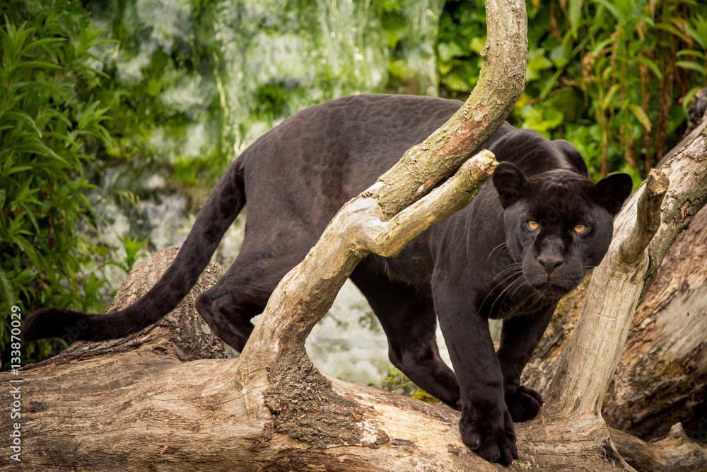 Fotografie, Obraz Jaguar