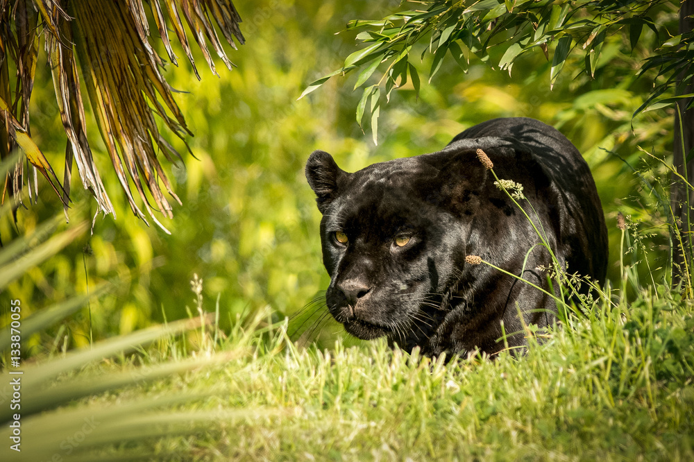 Fotografie, Obraz Jaguar, prowling