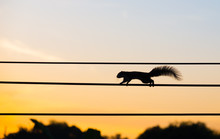 Silhouette Squirrel Walking On The Electric Wire In The Morning.