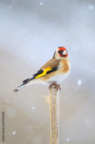 Stampa su Tela small bird European goldfinch in winter