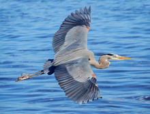 Great Blue Heron Flying Over T...