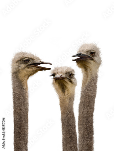 Staande foto Struisvogel A Group of Ostriches Meeting Together