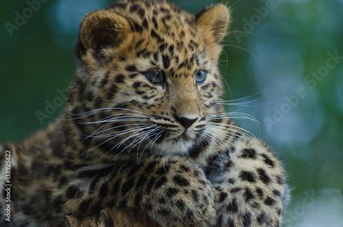 An Amur Leopard Cub Wallpaper Mural