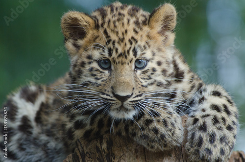 Canvas Prints Leopard An Amur Leopard Cub
