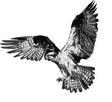 Vector Illustration Of Osprey -  Detailed Realistic Illustration Of Bird Isolated On White - Bird Of Prey