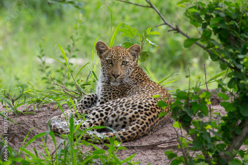 Foto op Canvas Luipaard A leopard lying down.