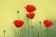 Artistic photo of poppy